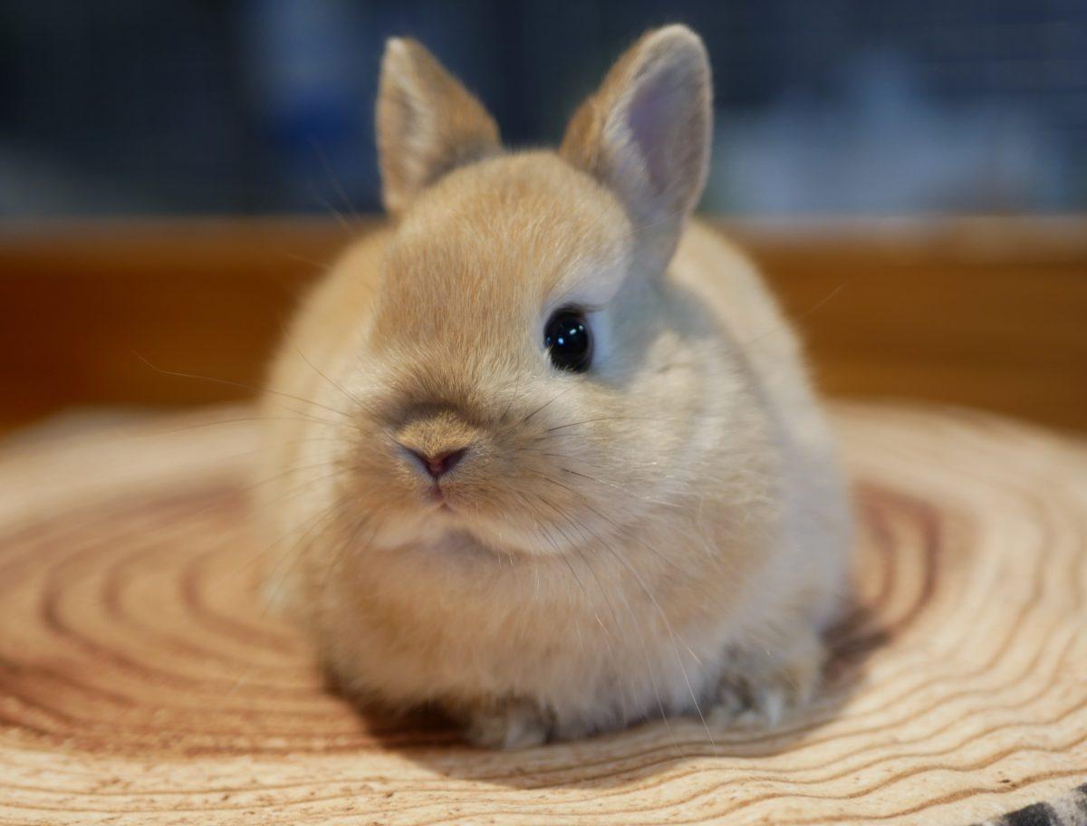 ウサギ ドワーフ